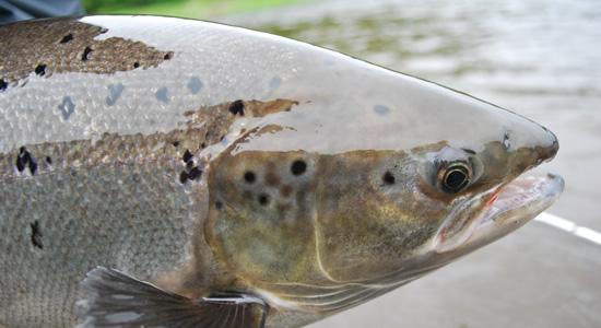 fall-atlantic-salmon-550